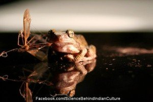 Frogs are a part of indian culture to take care of our health